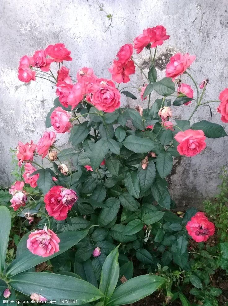 漂亮的花朵怒放的月季花图片