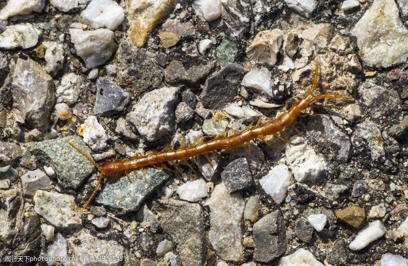 肢体蜈蚣图片