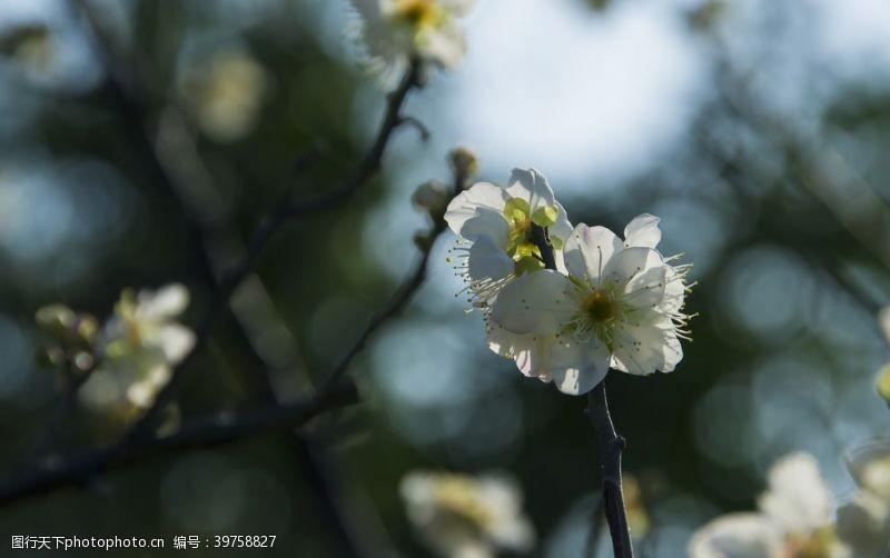 照片素材白梅花图片