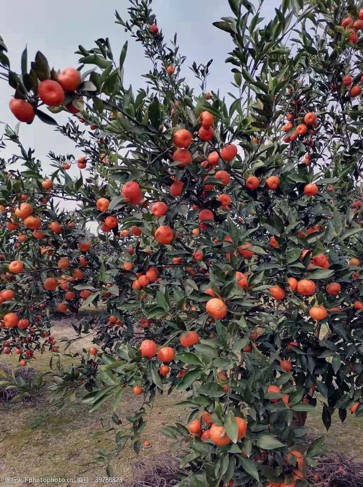 大红袍红橘丰收图片