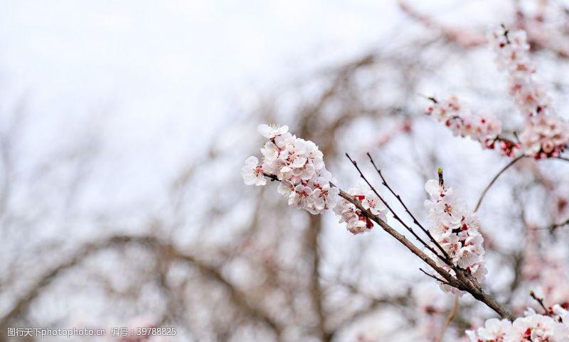 照片素材梅花摄影图片
