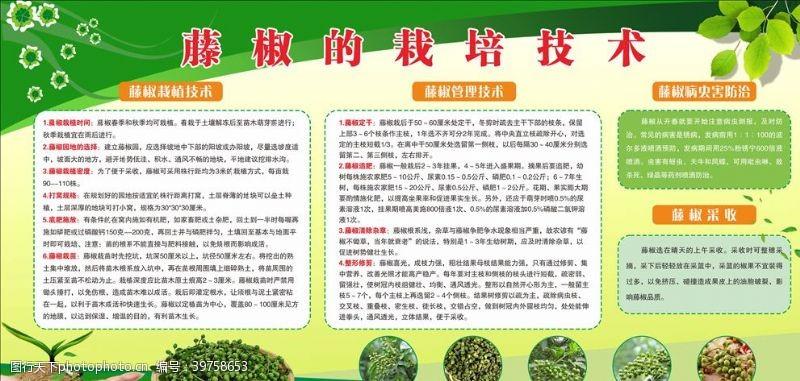 青花椒藤椒的栽培技术图片