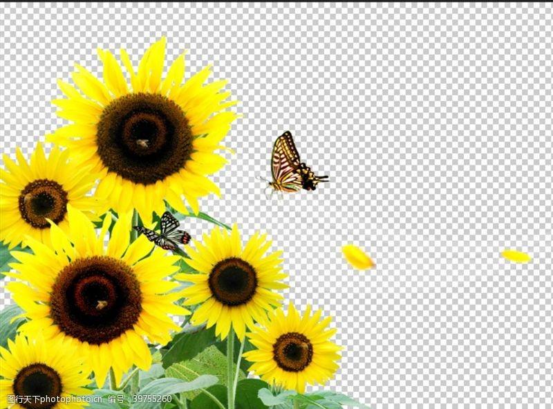 其他生物向日葵图片