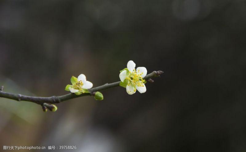 照片素材一只梅花图片