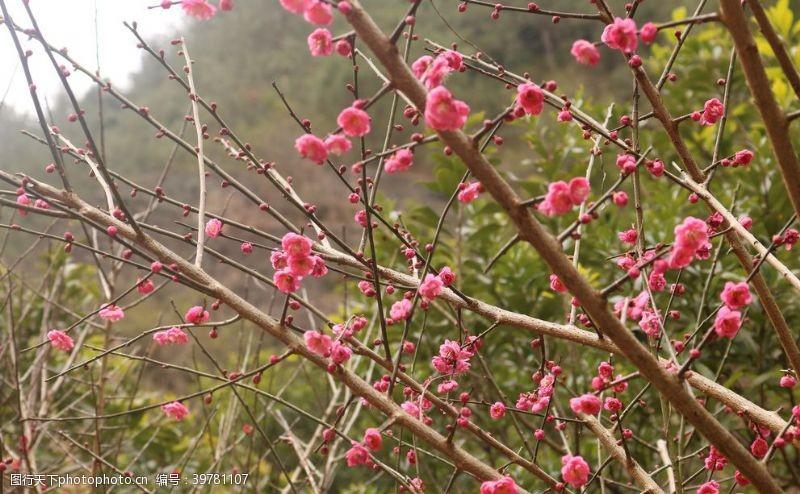 照片素材粉色梅花图片