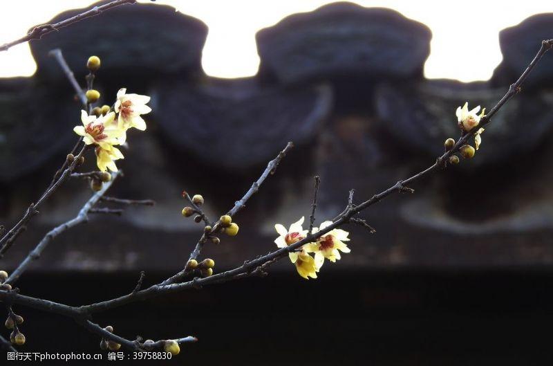 照片素材腊梅花图片