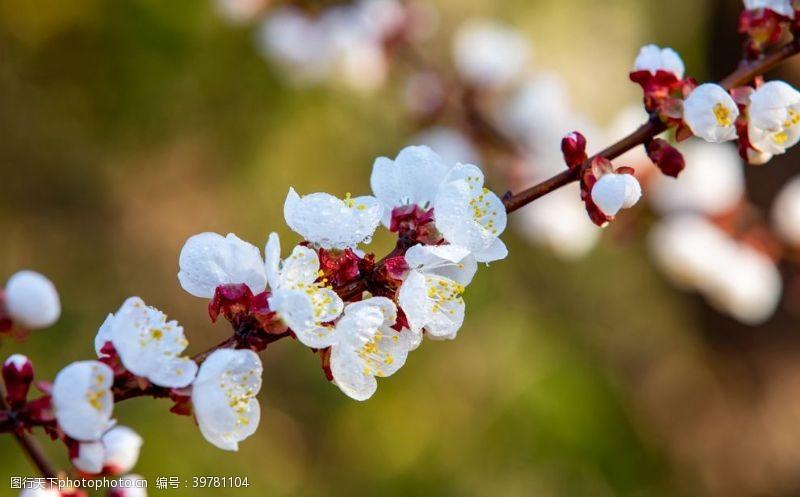 照片素材梅花图片
