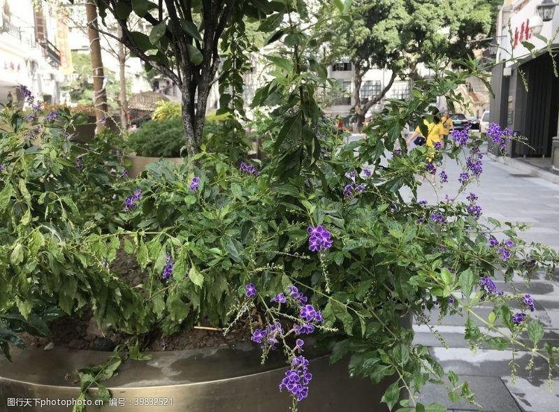 盆栽假连翘图片