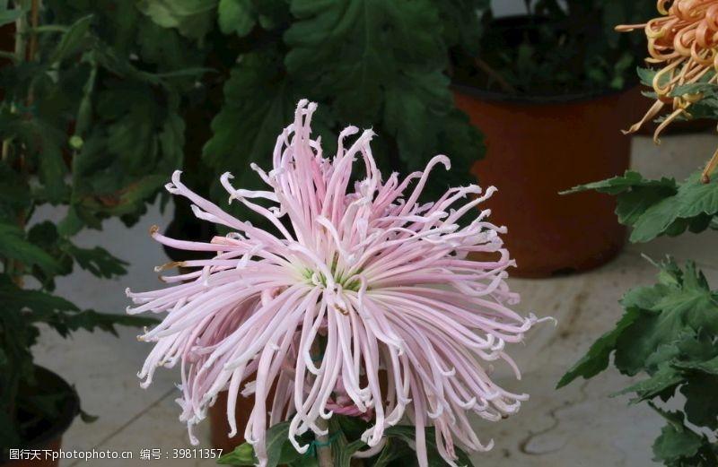 花蕊菊花图片