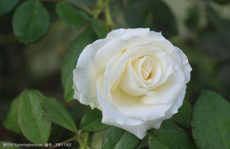 花蕊玫瑰花图片