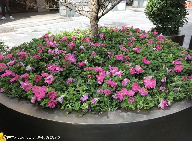 盆栽桃红花图片