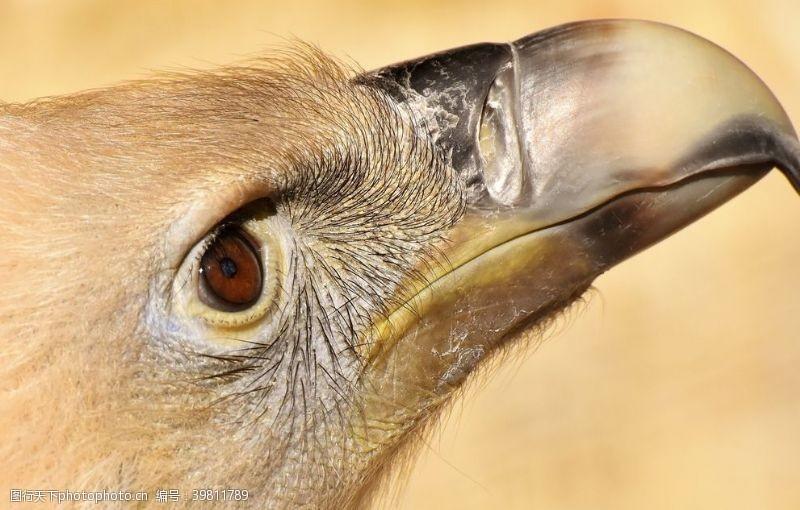 鸟巢兀鹫图片