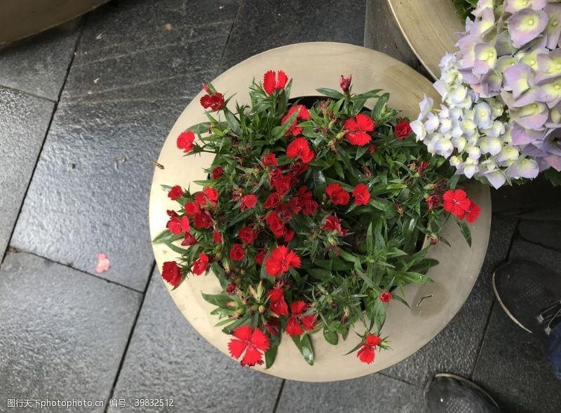 盆栽小红花图片