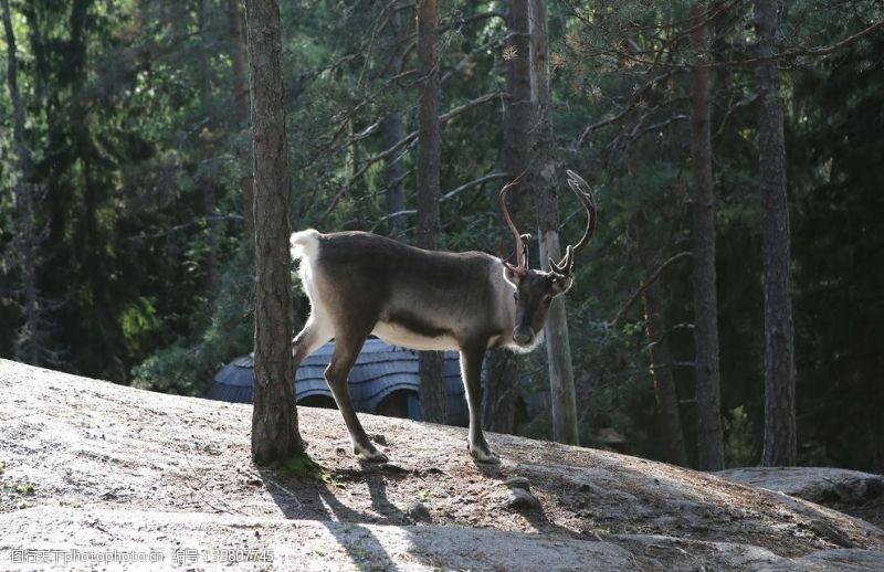 北美驯鹿图片