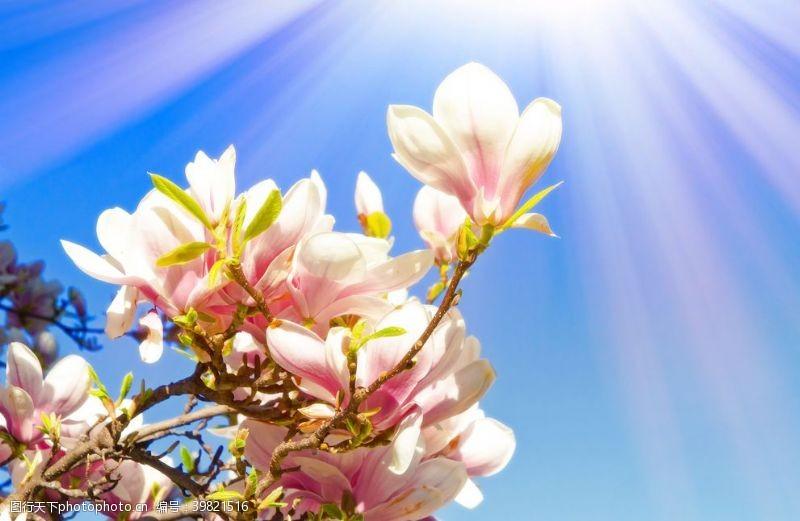 日本樱花樱花图片