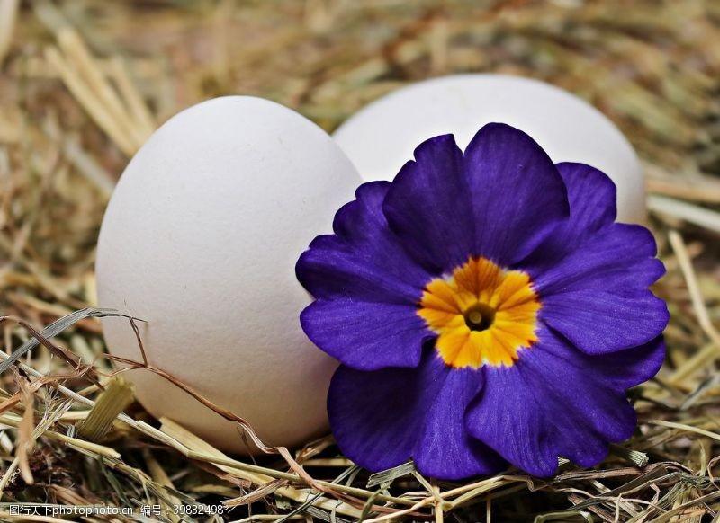 盆栽紫色报春花图片