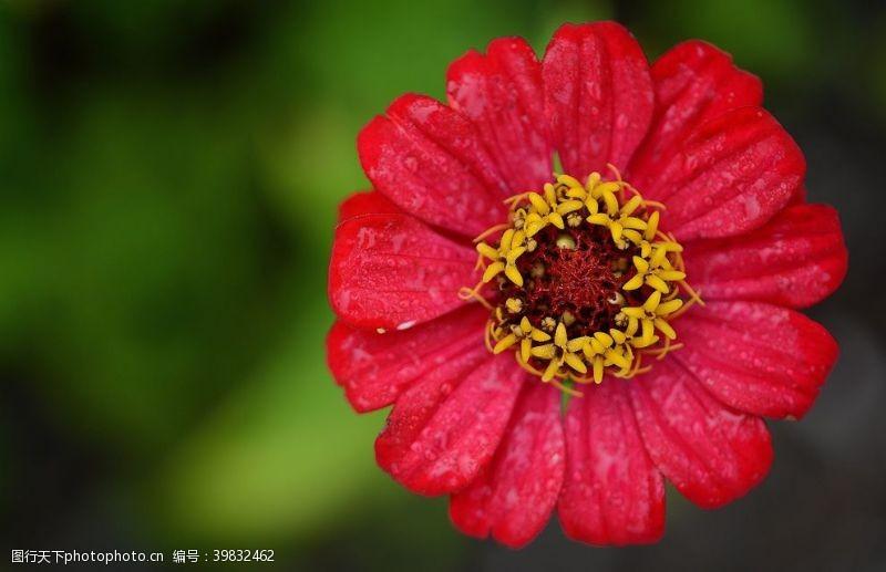 盆栽百日菊图片