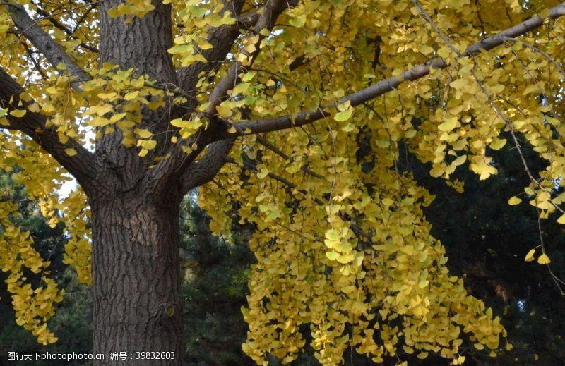 银杏叶彩叶风景图片