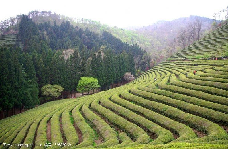 茶行茶山墙纸茶山素材茶山壁纸图片