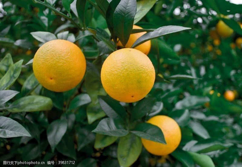 食物原料橙子图片