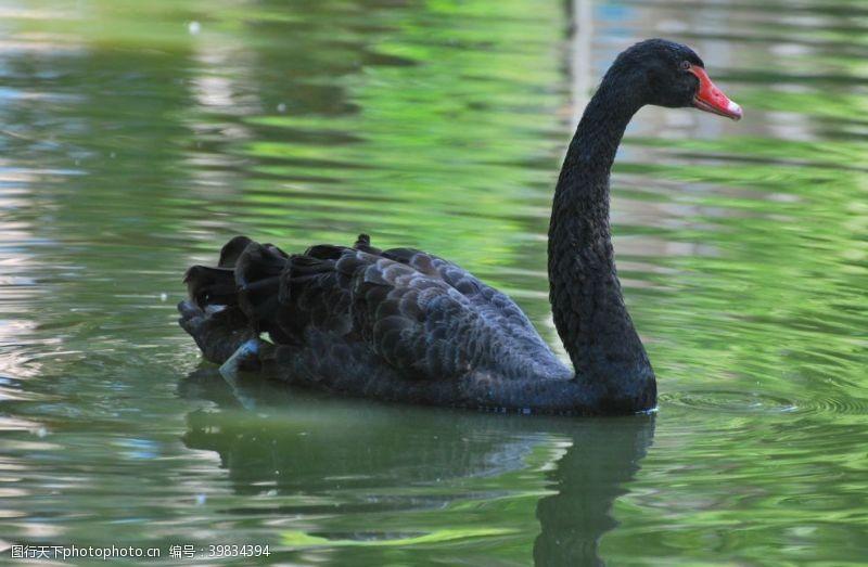 动物园黑天鹅图片