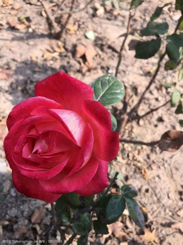 玫瑰花苞花图片