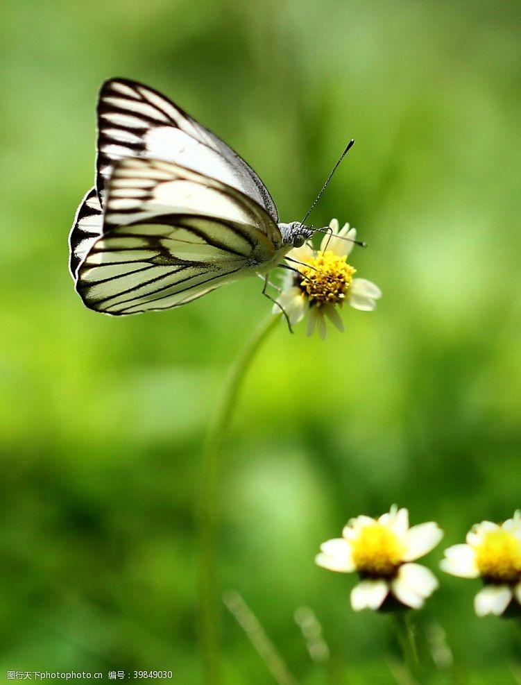 飞翔美丽蝴蝶图片