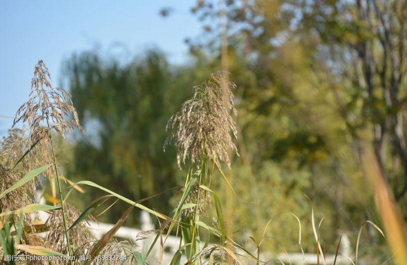旅游风景秋天阳光下的芦苇芦花图片