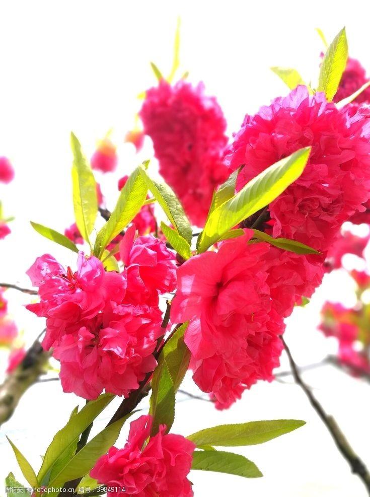 红花一簇红图片