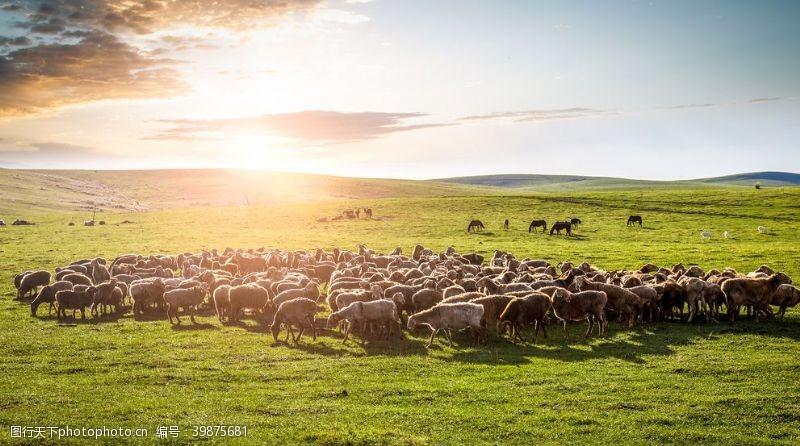 草地上的羊群图片