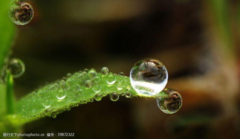 水珠草尖上的露珠图片