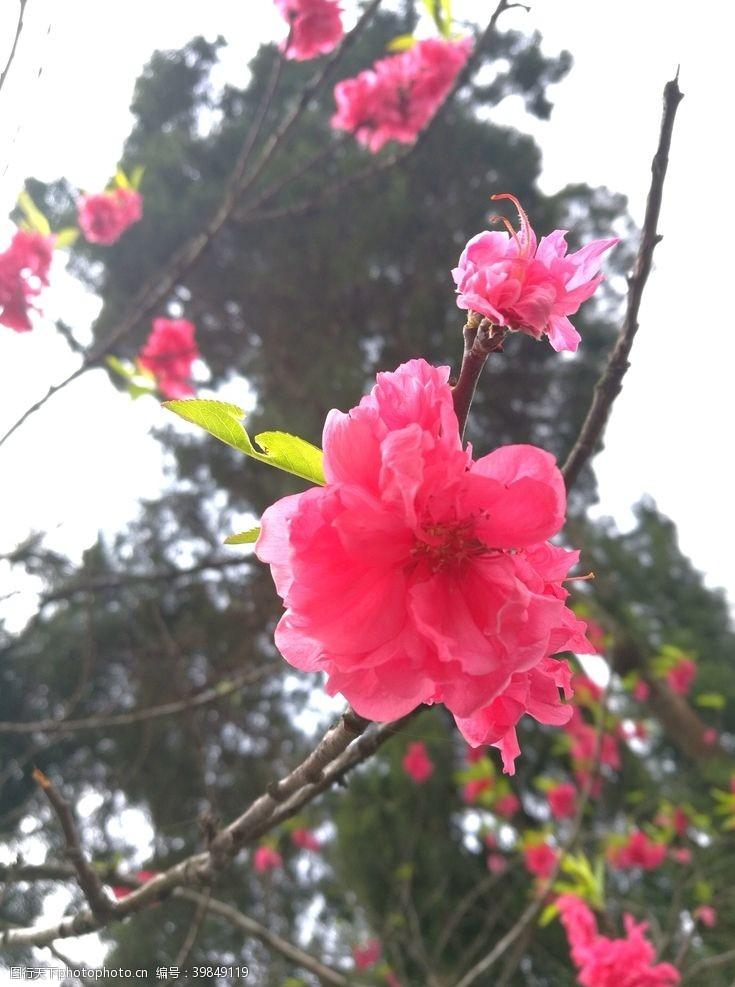 红花红桃图片