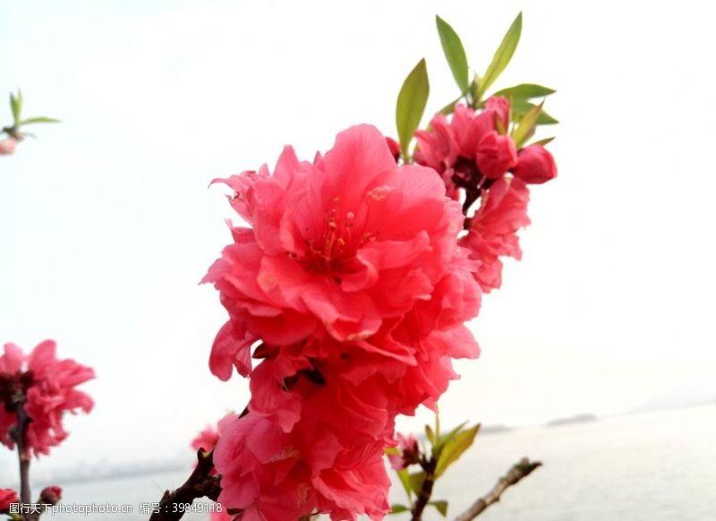 红花枝头图片