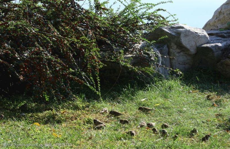 草地草丛麻雀图片