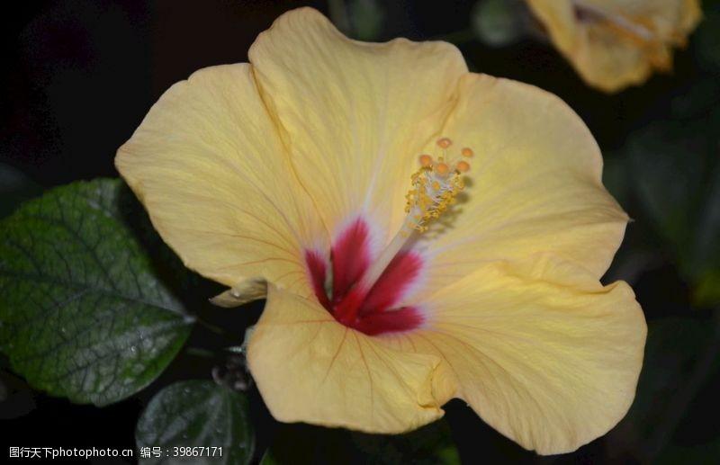 红花扶桑图片