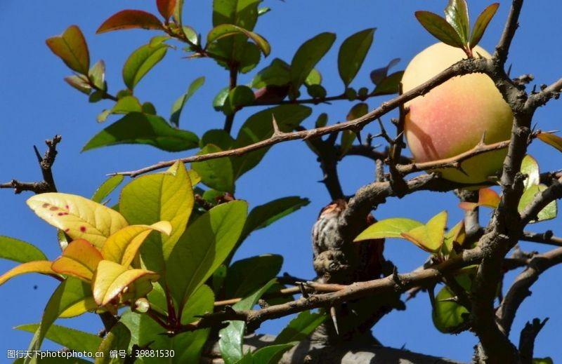 红叶贴梗海棠果图片
