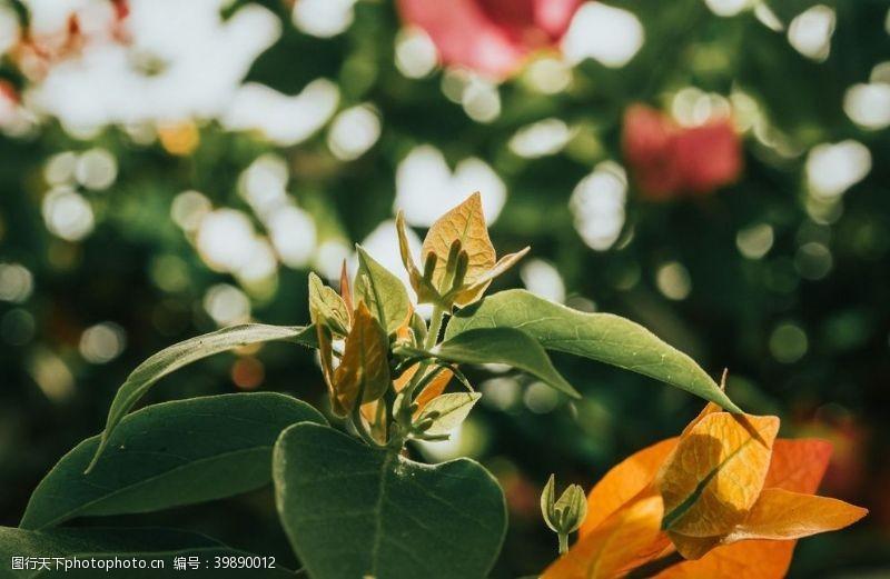 红叶绿叶图片
