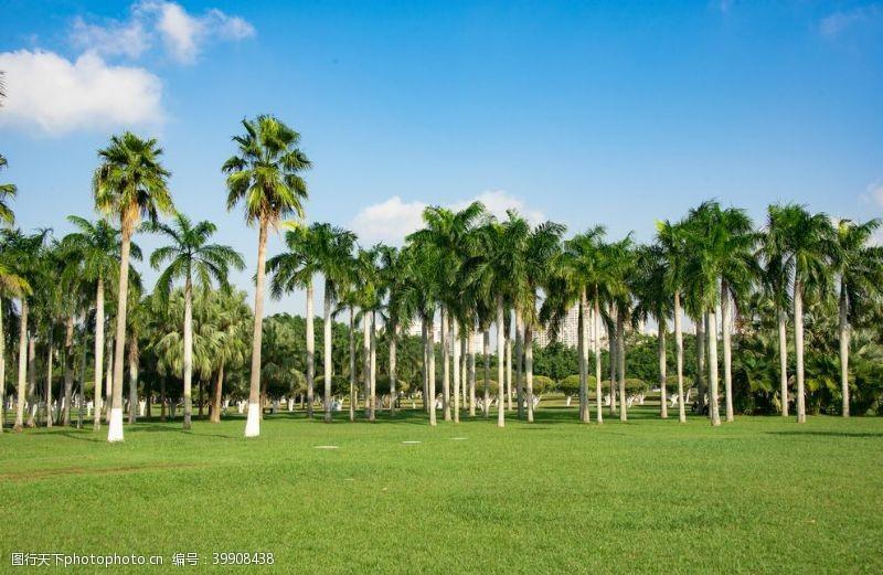 城市绿化槟榔树图片