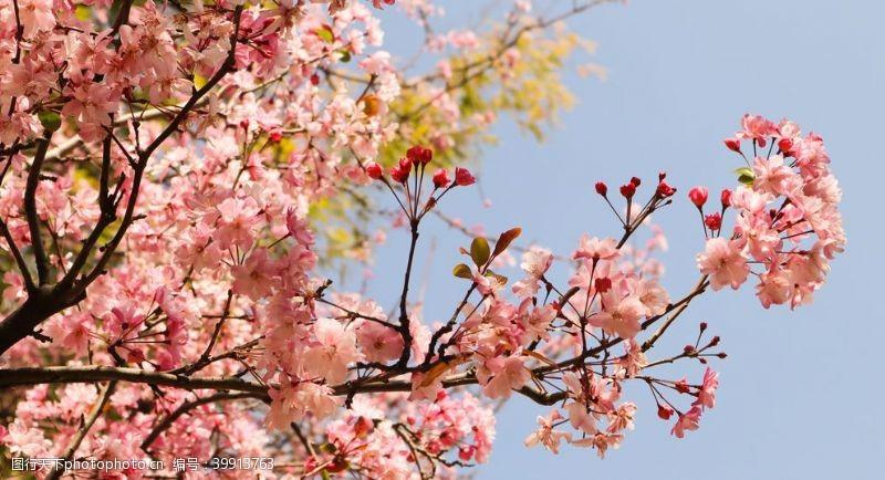 北美盛开的海棠花图片