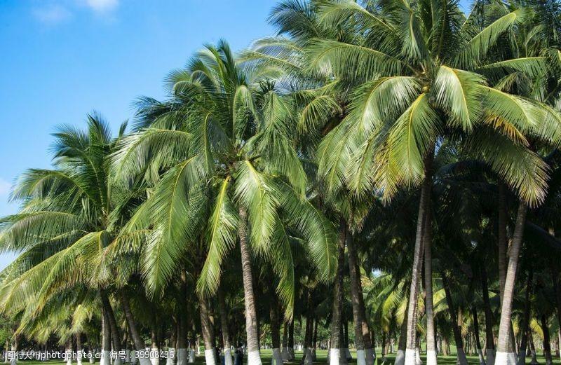 城市绿化椰林图片