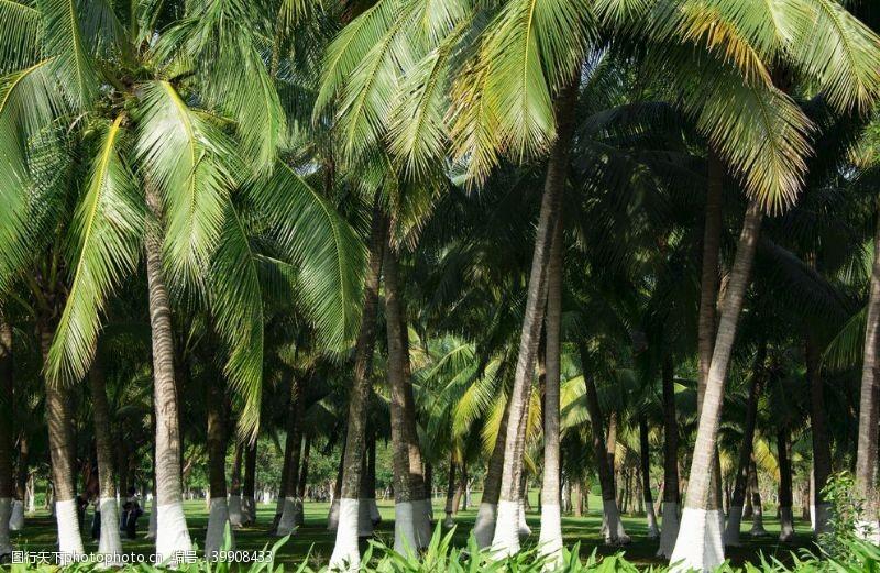 城市绿化椰子树图片