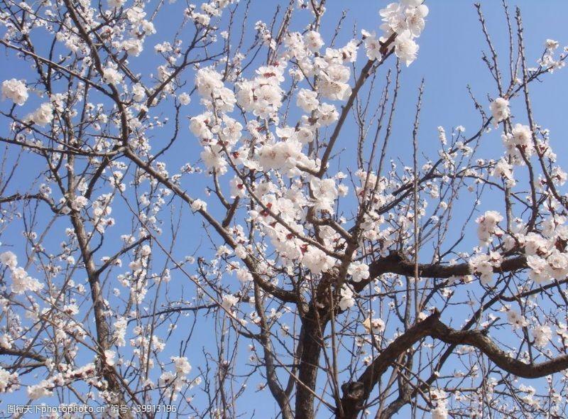 白色樱花樱花花树图片
