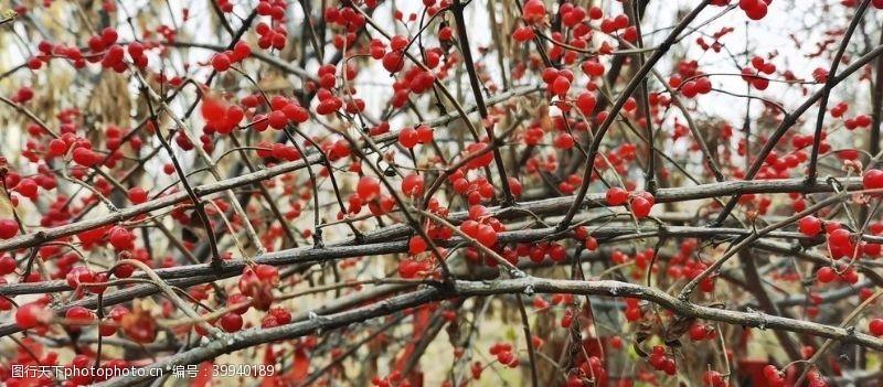 红球繁果忍冬图片