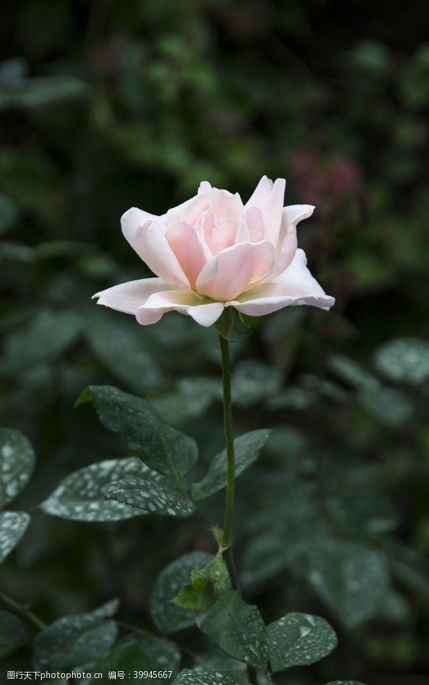 玫瑰花朵玫瑰花特写图片