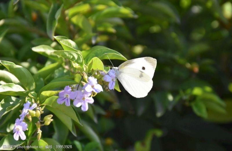 白蝴蝶图片