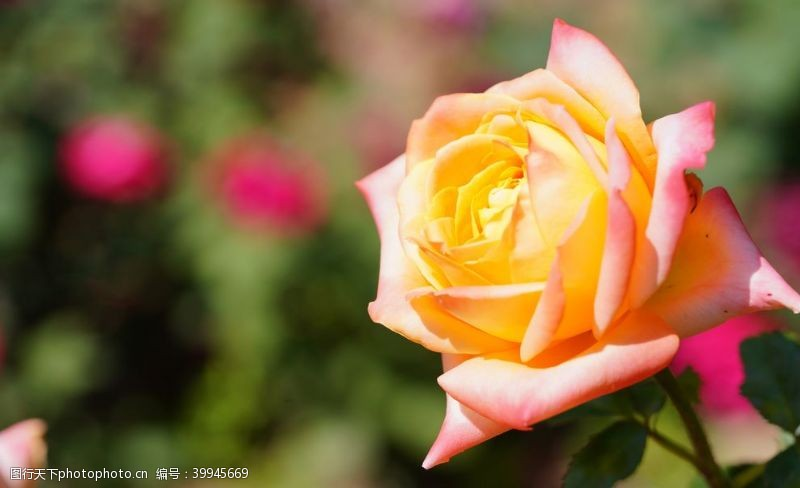 玫瑰花朵黄色玫瑰摄影图片