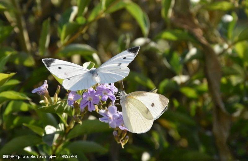 蝴蝶双憩图片
