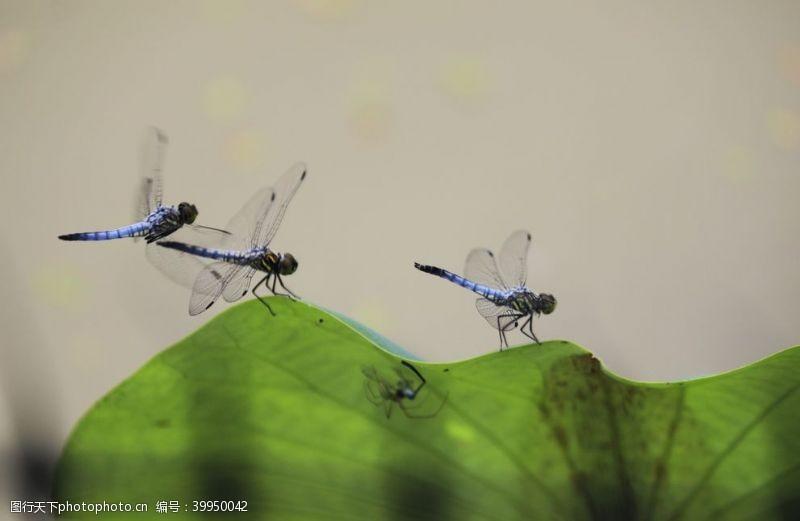 夏天蜻蜓图片