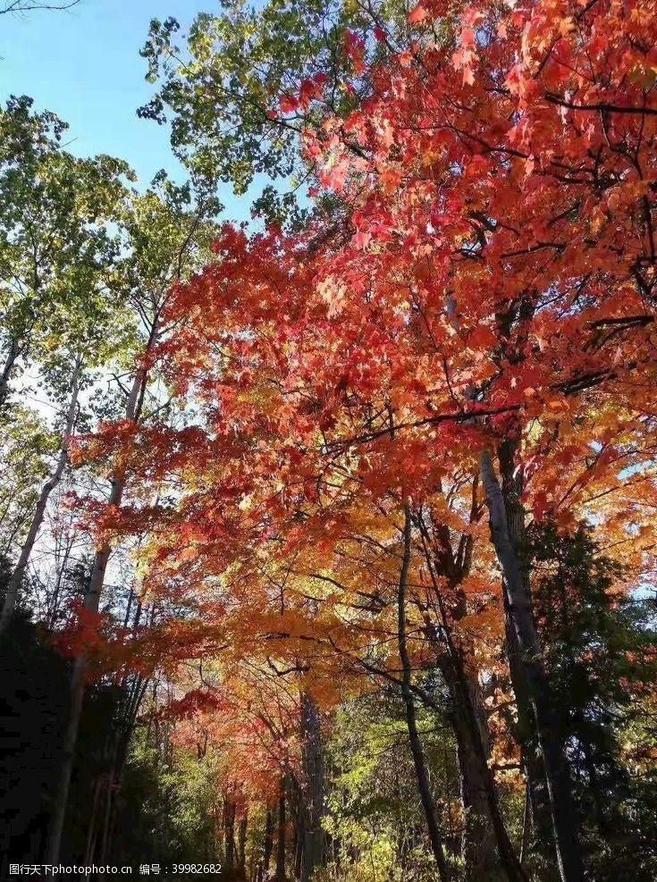 树风景秋天红叶晴天图片