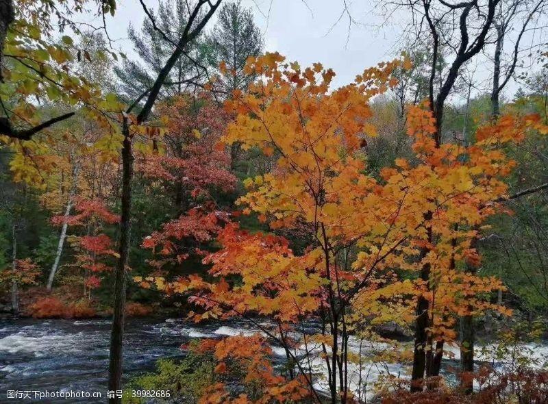 树风景秋天黄叶流水图片